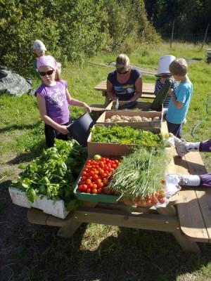 Tomaattia, tilliä, basilikaa... perunaa... kesäkurpitsaa. Mitä kaikkea me oikein kasvatimme!