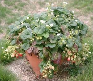 Mansikka voi amppelin lisäksi kasvaa myös tavallisessa ruukussa.