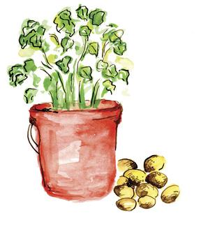 Perunan idättäminen nopeuttaa perunan kasvua. Voit idättää perunan huoneenlämmössä muovipussissa noin 3 viikkoa ennen istuttamista. Katso, että muovipussissa on reikiä, jotta perunat saavat happea.